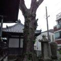 引摂寺 大銀杏