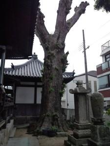 島内最大のイチョウの木