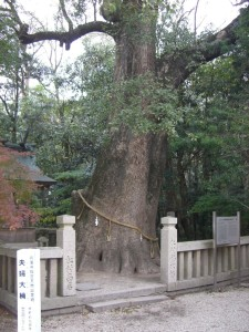 夫婦大楠はクスノキの巨木