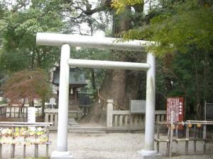 岩楠神社の夫婦大楠