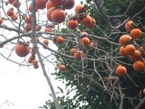 やっぱり柿でした