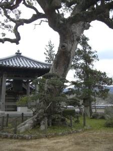 妙京寺の立派な木
