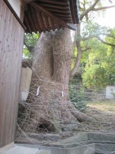 岩屋八幡神社のクスノキ 1