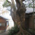 岩屋八幡神社のクスノキ