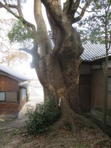 岩屋八幡神社のクスノキ 3