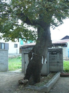 立派な神木