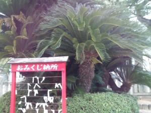 厳島神社のソテツ