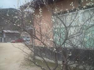 国端彦護国神社の梅の木