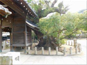 洲本八幡神社のクスノキ