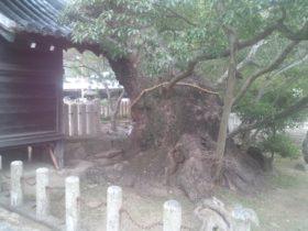 洲本八幡神社のクスノキの巨木