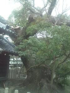 巨木は貴重な財産