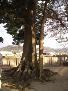 十一神社 別の巨木2
