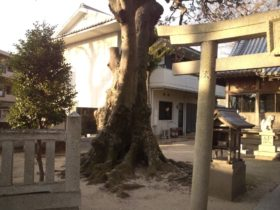 十一神社の巨木 別角度から