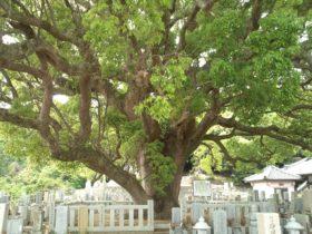 妙勝寺の大くすの木