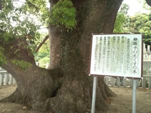 妙勝寺の大くすの木 説明板