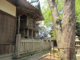 都志八幡神社 ナギの大木
