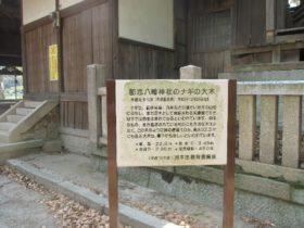 都志八幡神社 ナギの大木の説明板