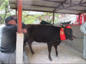 河上神社天満宮 春祭りに来ていた牛